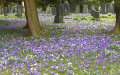 Purple Easter crocus flowers carpeting the ground under the trees in a rural graveyard